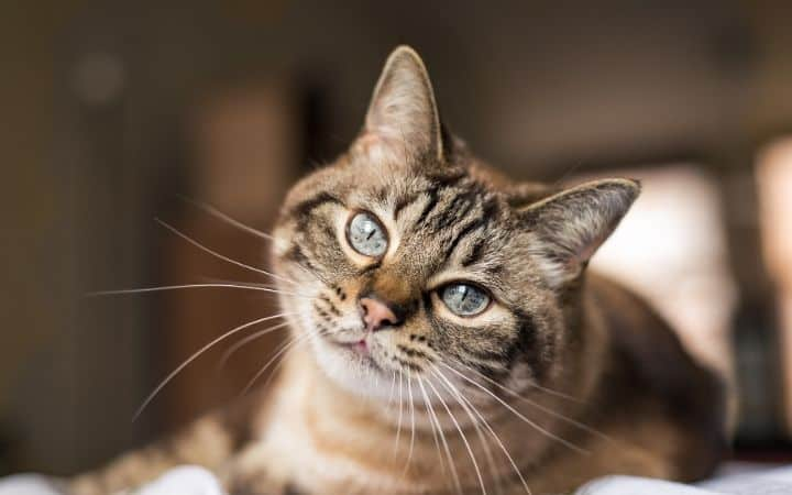 Can cats get heartworm - I Love Veterinary