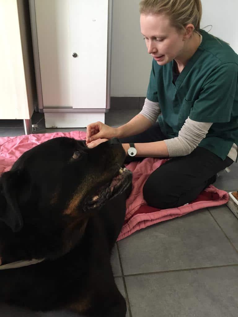 Veterinarian doing veterinary acupuncture treatment - I Love Veterinary