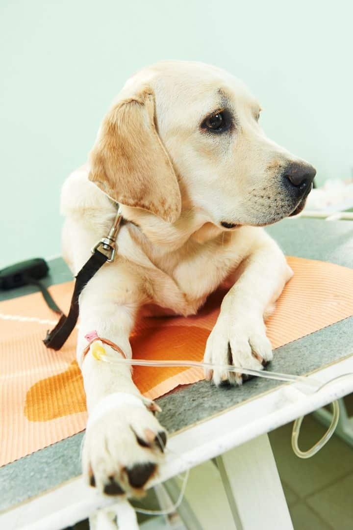 Injured dog - I Love Veterinary