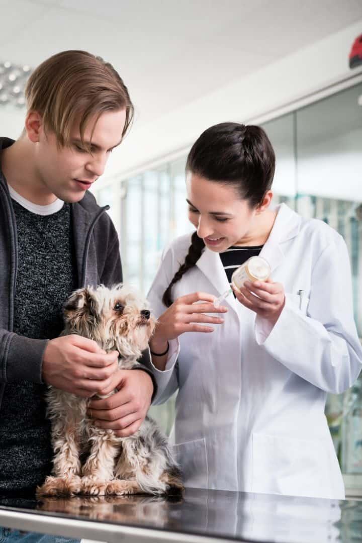 Yorkie waiting for vaccine - I Love Veterinary