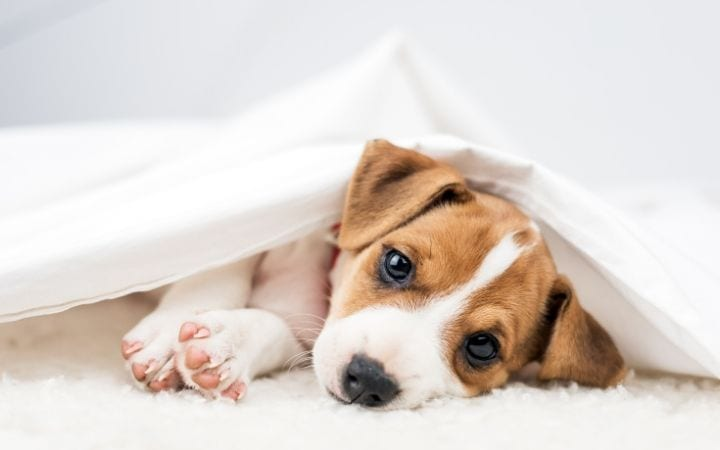 Canine distemper, causes, symptoms, treatment and vaccine - I Love Veterinary