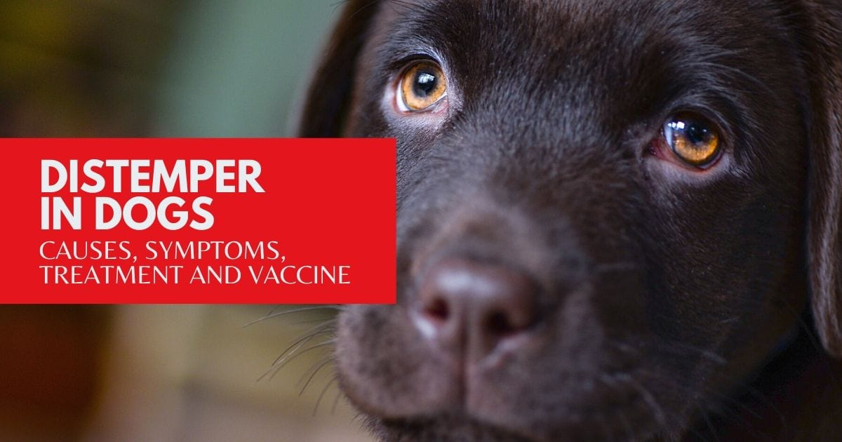 Distemper in Dogs - I Love Veterinary