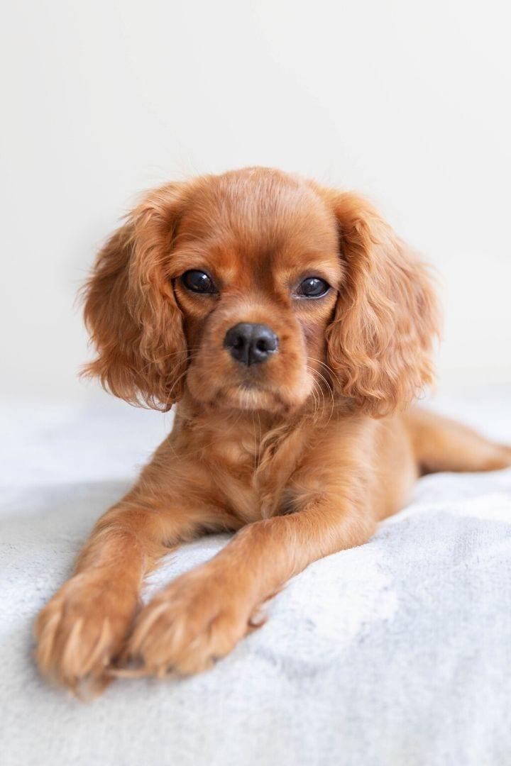 Distemper in puppies - I Love Veterinary