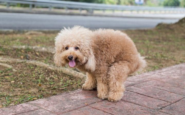 Dog pooping - I Love Veterinary