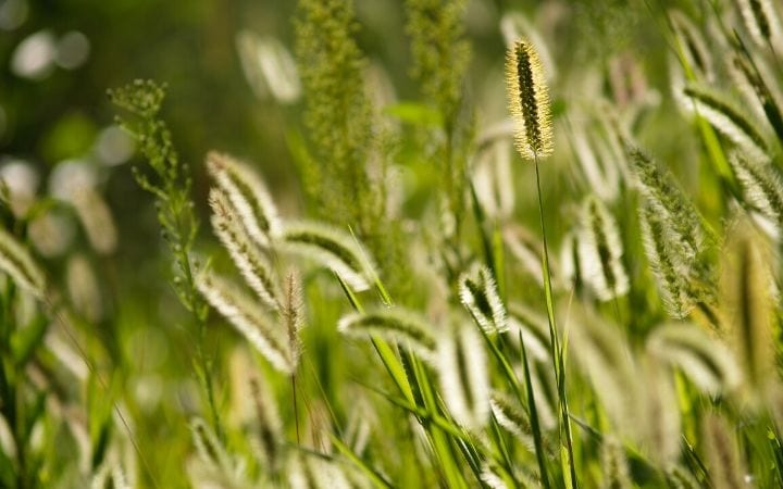Foxtail grass by I Love Veterinary