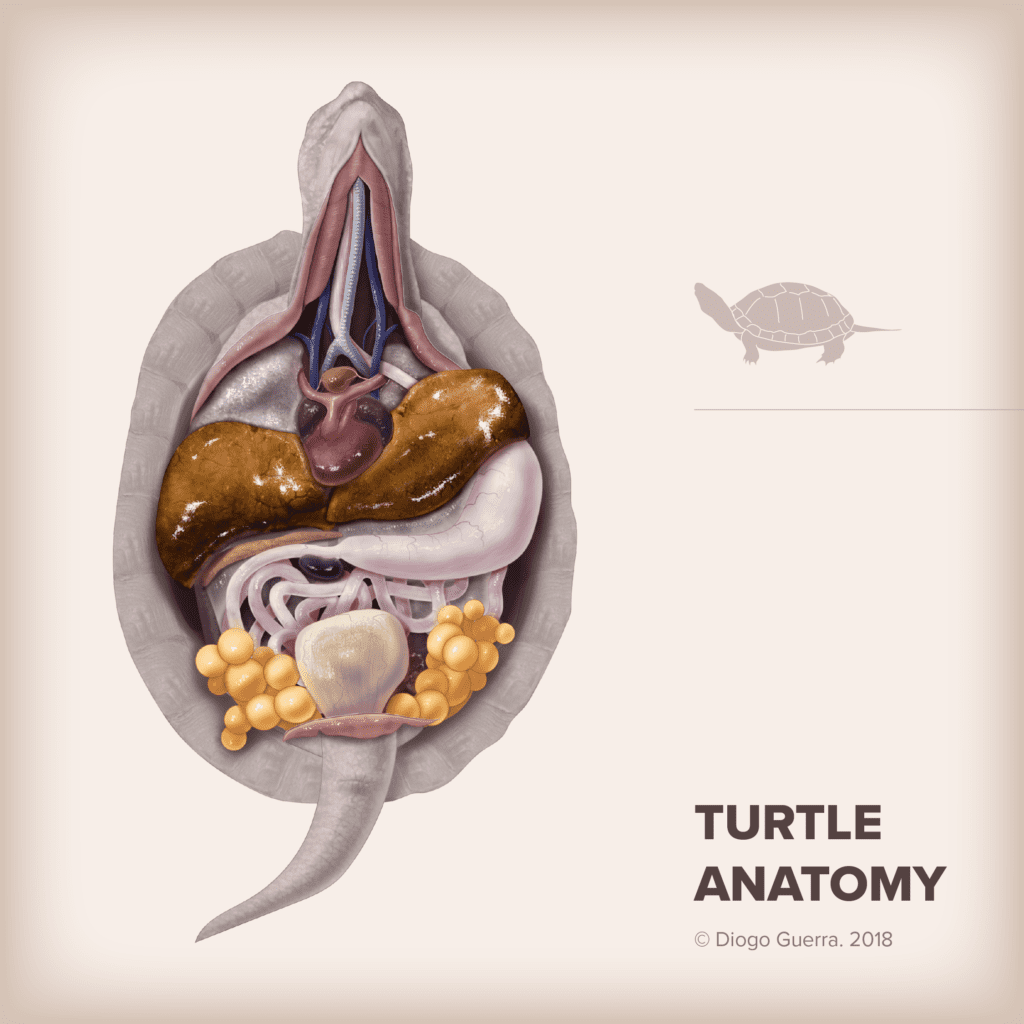 Turtle Anatomy, Interview with Diogo Guerra - I Love Veterinary