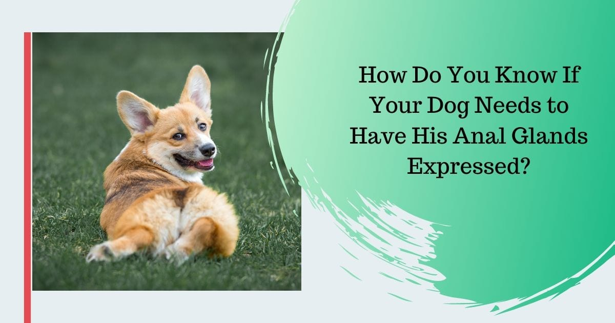 How Do You Know If Your Dog Needs to Have His Anal Glands Expressed - I Love Veterinary