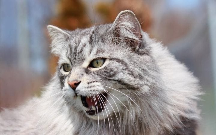 Aggressive cat, Gabapentin for Cats - I Love Veterinary
