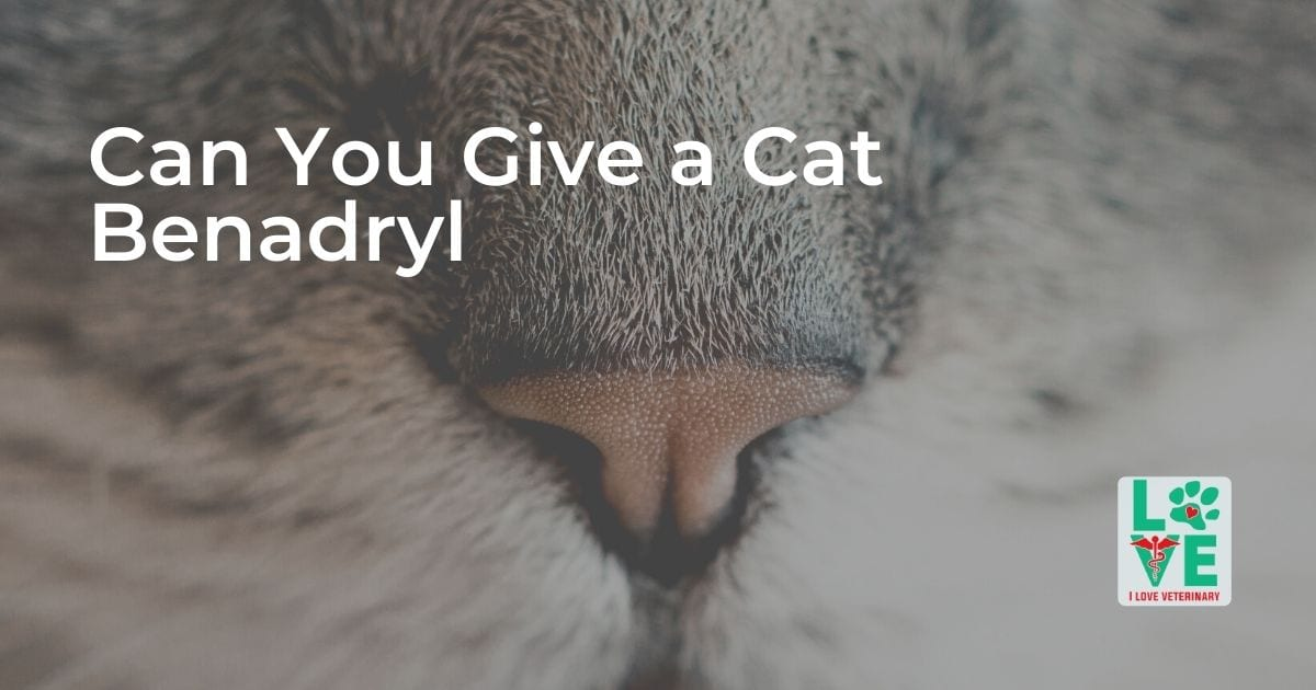Can You Give a Cat Benadryl - I Love Veterinary