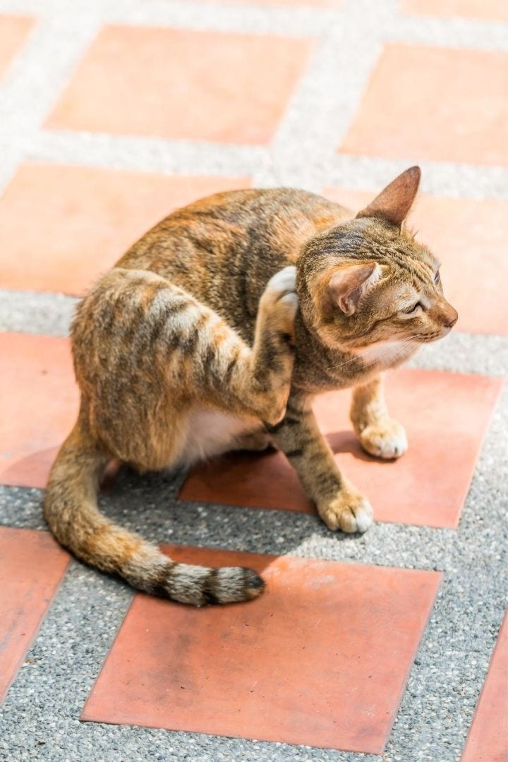 Cat itching, how to prevent situations in which Benadryl for cats is needed - I Love Veterinary