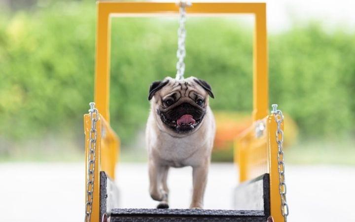 Pug running on dog treadmill - I Love Veterinary