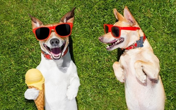 Two Jack Russell dogs with sunglasses and ice-cream, 50 Best Dog Puns - I Love Veterinary