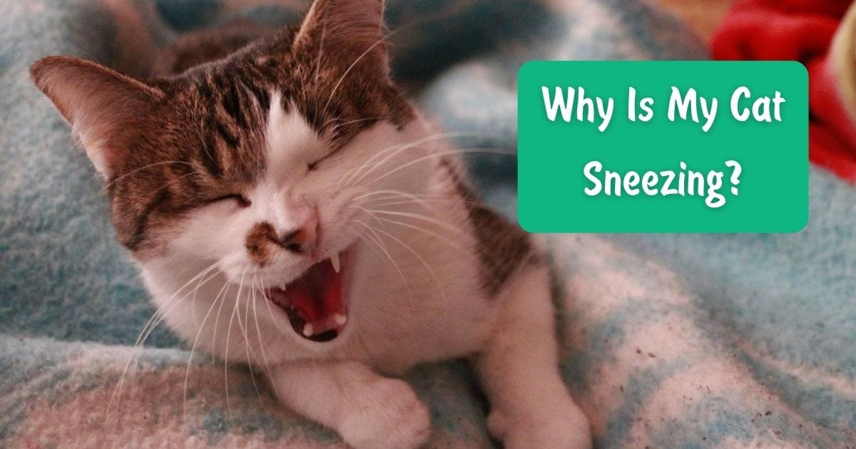 Why Is My Cat Sneezing? - I Love Veterinary