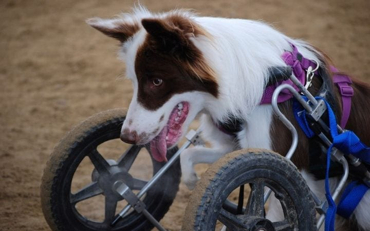 Border collie in dog wheelchair, What to Do If Your Dog Needs a Wheelchair - I Love Veterinary