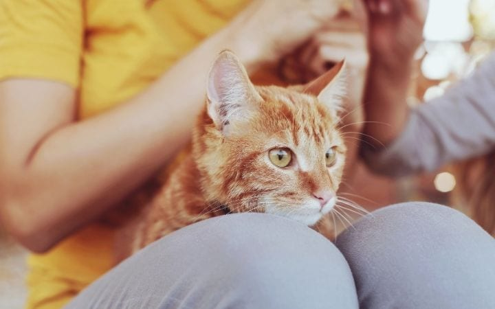 Cat and owner, Methimazole for Cats - I Love Veterinary