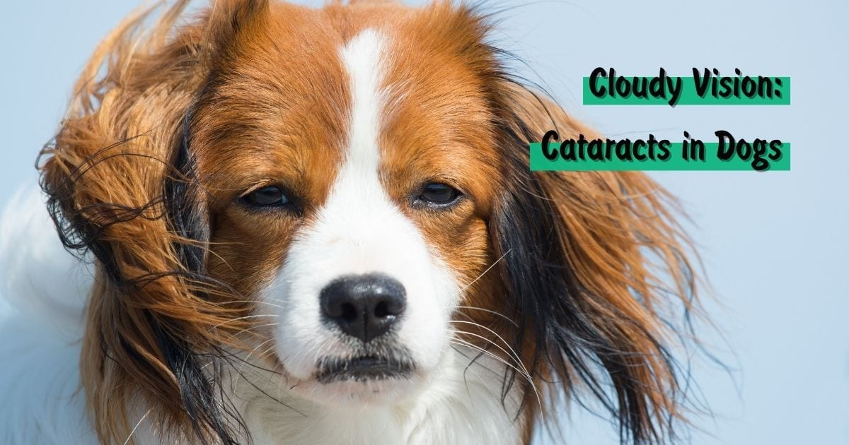 Cloudy Vision: Cataracts in Dogs - I Love Veterinary