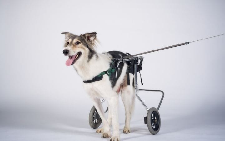 Cute dog in dog wheelchair, What to Do If Your Dog Needs a Wheelchair - I Love Veterinary