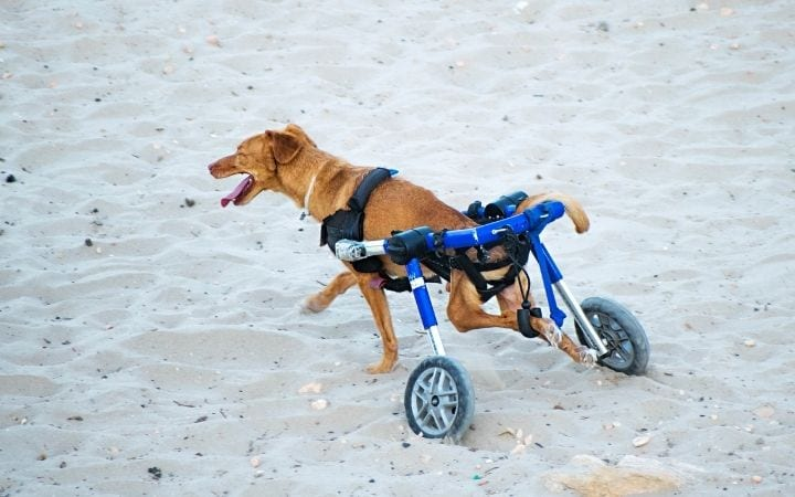 Disabled dog in wheelchair on the beach, What to Do If Your Dog Needs a Wheelchair - I Love Veterinary