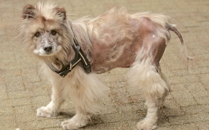 Dog with Alopecia, Melatonin for Dogs_ Uses, Benefits and Side Effects - I Love Veterinary