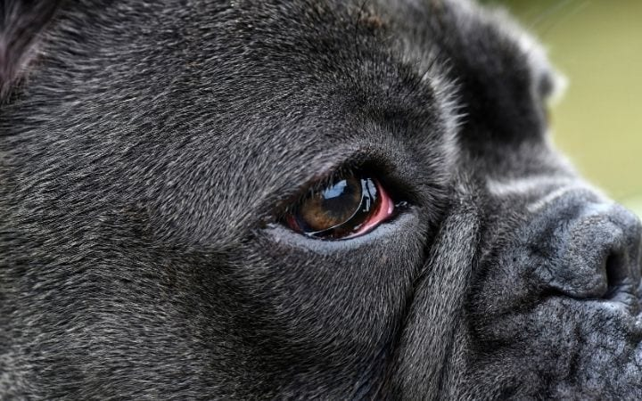 French bulldog with red eyes, Glaucoma in dogs - I Love Veterinary