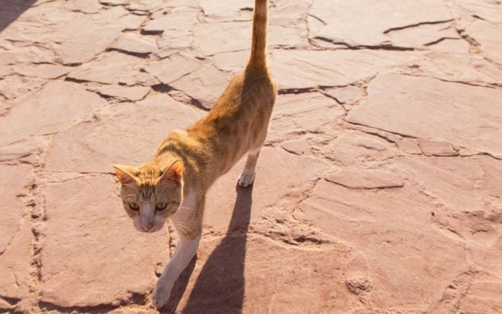 Ginger underweight cat, Hyperthyroidism in Cats - I Love Veterinary