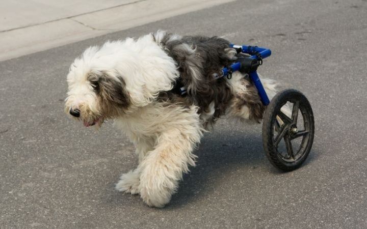 Handicapped old English Sheepdog running in dog wheelchair, What to Do If Your Dog Needs a Wheelchair - I Love Veterinary
