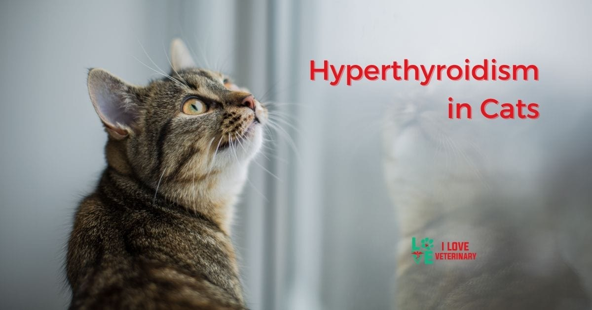 Hyperthyroidism in Cats - I Love Veterinary