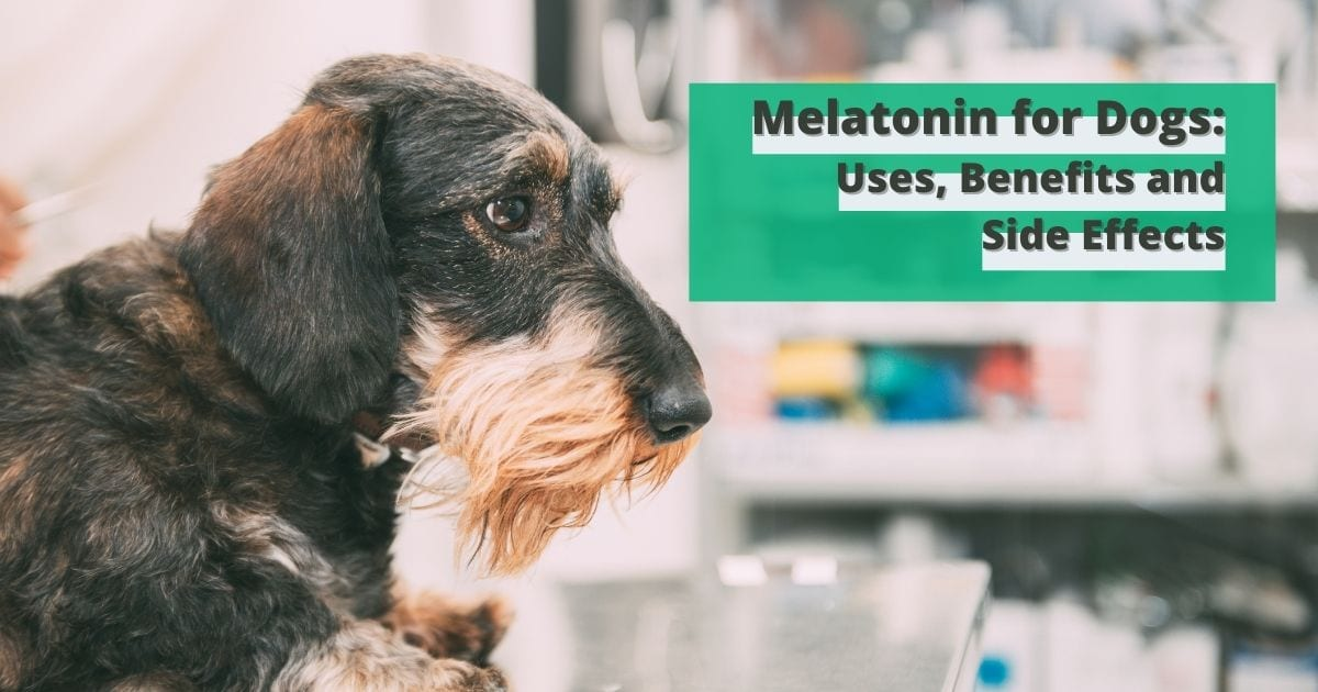 Melatonin for Dogs - Uses, Benefits and Side Effects - I Love Veterinary Medicine