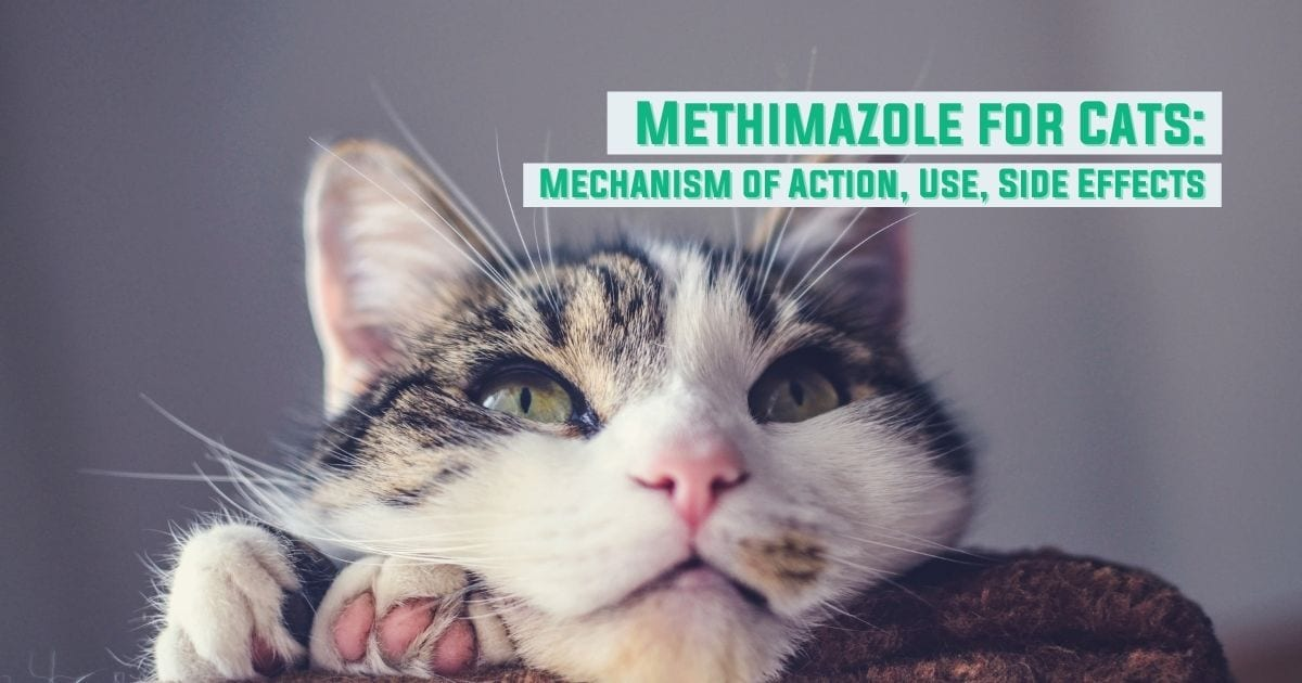 Methimazole for Cats - Mechanism of Action, Use, Side Effects - I Love Veterinary