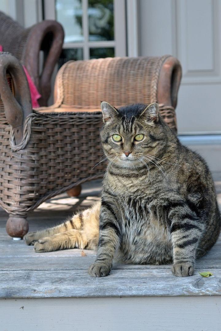 Obese cat, Pet Obesity - The Silent Killer - I Love Veterinary