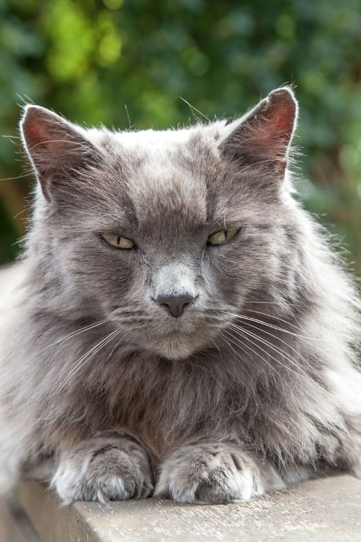 Old long-haired gray cat, Hyperthyroidism in Cats - I Love Veterinary