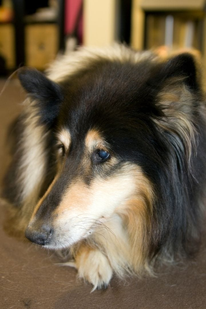 Rough collie with glaucoma, Glaucoma in dogs - I Love Veterinary