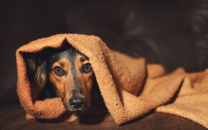 Scared dog under blanket, Melatonin for Dogs_ Uses, Benefits and Side Effects - I Love Veterinary