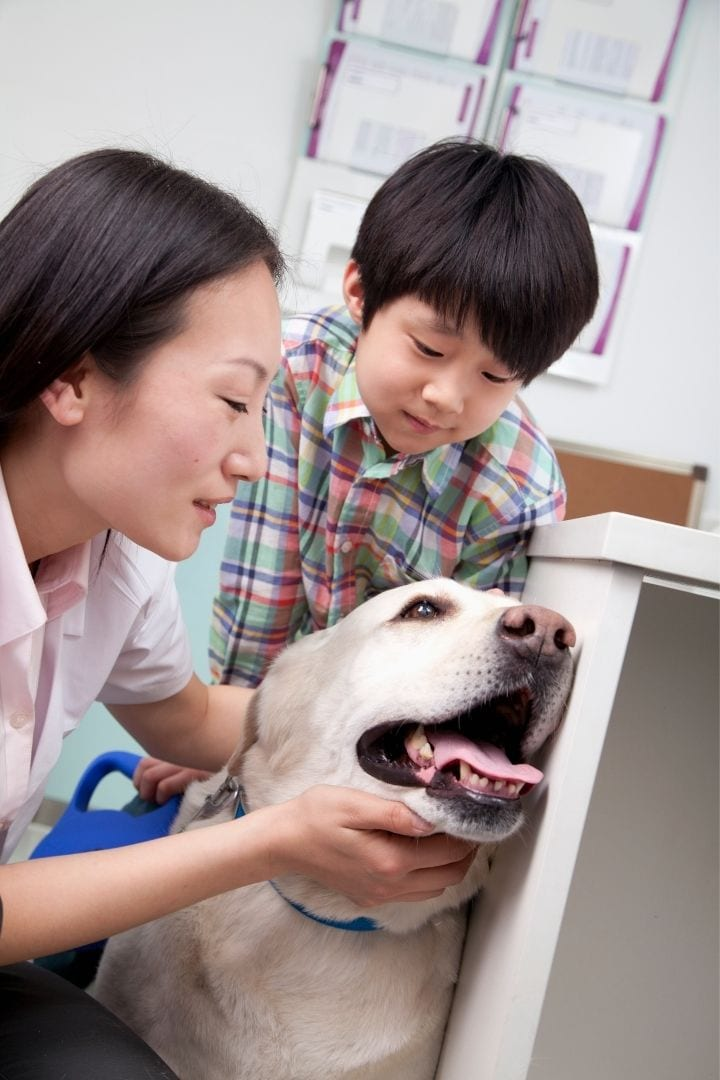 Veterinarian ophthalmologist examines the dog, Cataracts in Dogs - I Love Veterinary