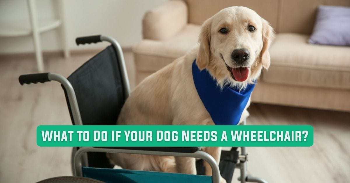 What to Do If Your Dog Needs a Wheelchair - I Love Veterinary Medicine