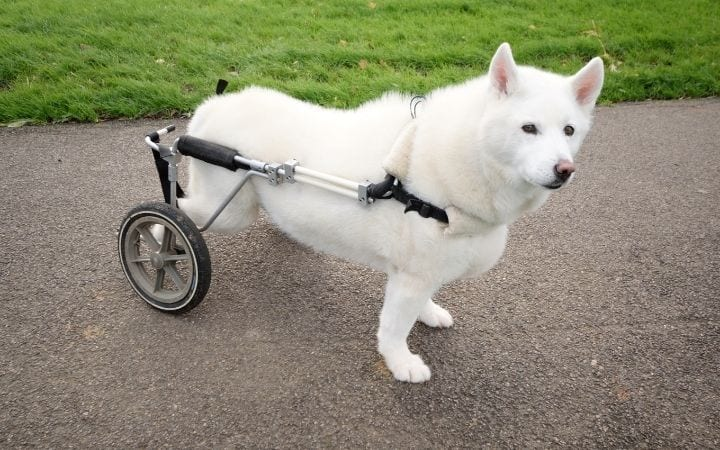 White dog in dog wheelchair, What to Do If Your Dog Needs a Wheelchair - I Love Veterinary