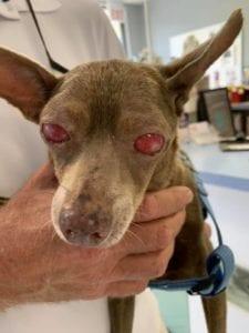 Severe glaucoma case in dog, Glaucoma in dogs - I Love Veterinary