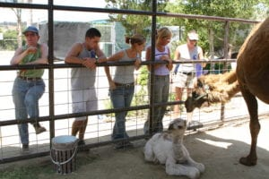 Camels, America's Teaching Zoo at Moorpark College, Vet Clinic Of the Week - I Love Veterinary