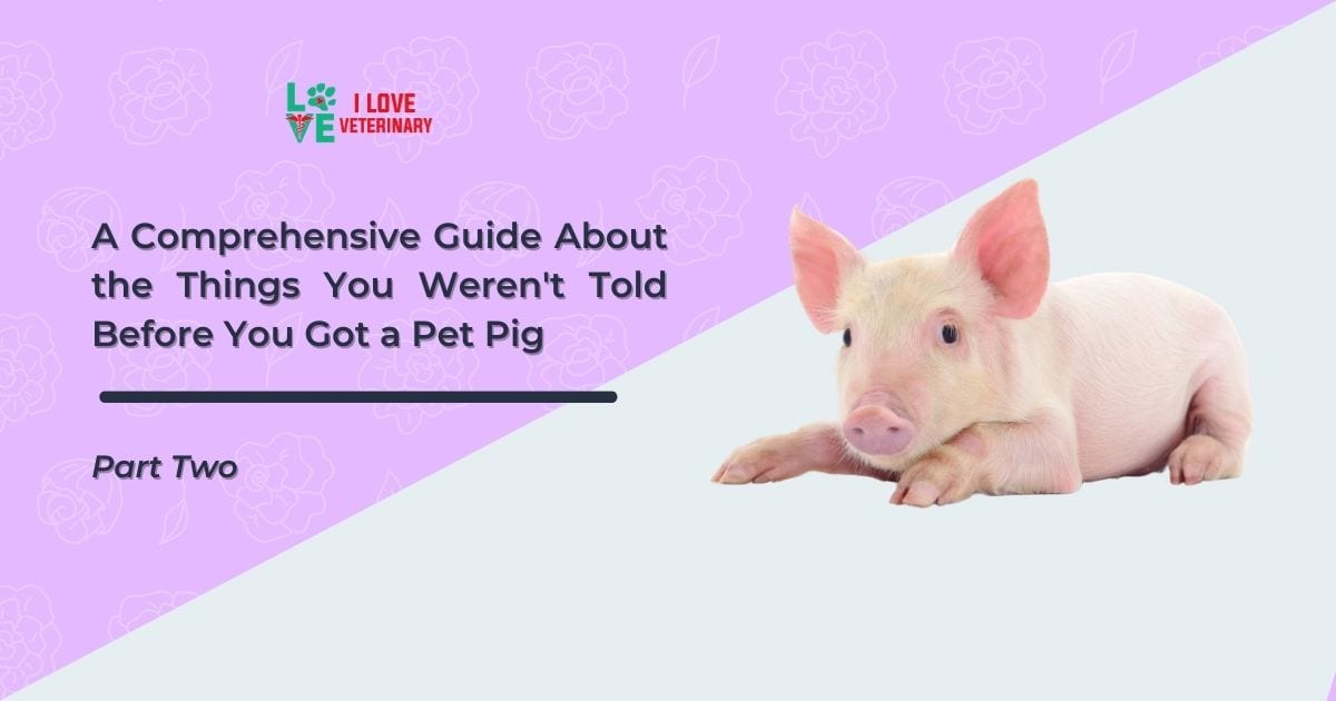 A Comprehensive Guide About the Things You Weren't Told Before You Got a Pet Pig - Part Two - I Love Veterinary