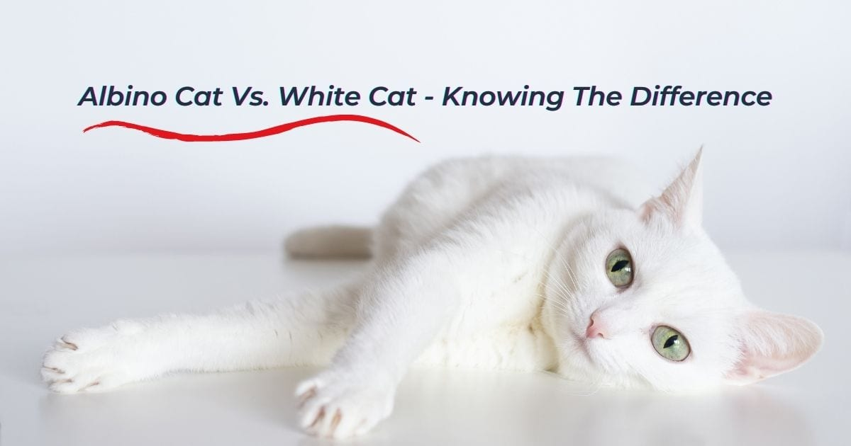 Albino Cat Vs. White Cat - Knowing The Difference - I Love Veterinary