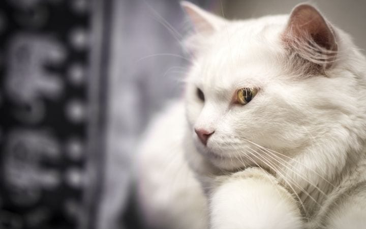 Albino cat, Albino Cat Vs. White Cat - Knowing The Difference - I Love Veterinary