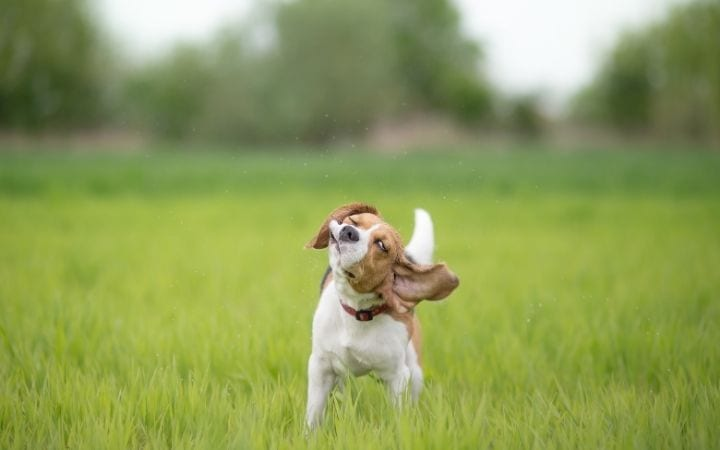 Beagle shaking his head, Why Is My Dog Shaking? When Shake Rattle and Roll Is Not Good - I Love Veterinary