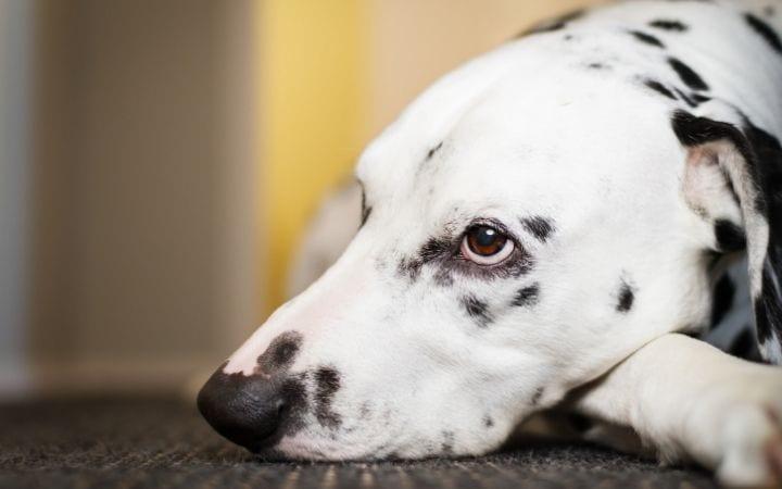 Bored dog, Dissecting Lick Granuloma - I Love Veterinary