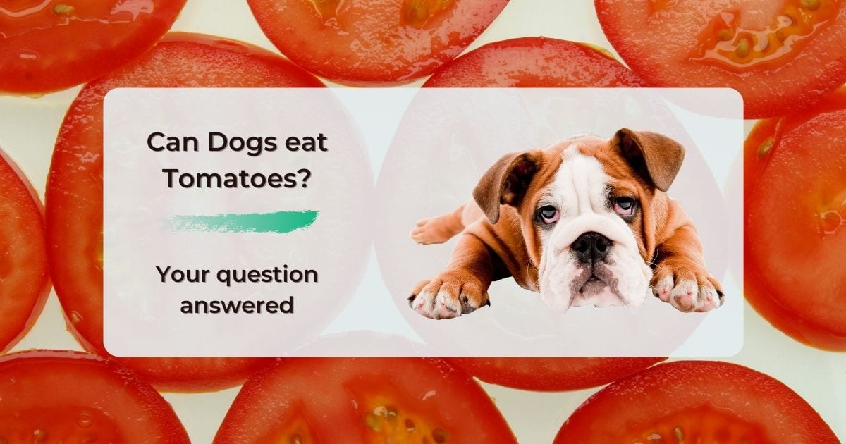 Can Dogs eat Tomatoes? Your question answered - I Love Veterinary