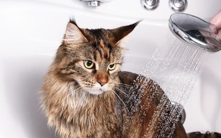 Cat bath, Eeeuw! My Cat Has Dandruff - I Love Veterinary