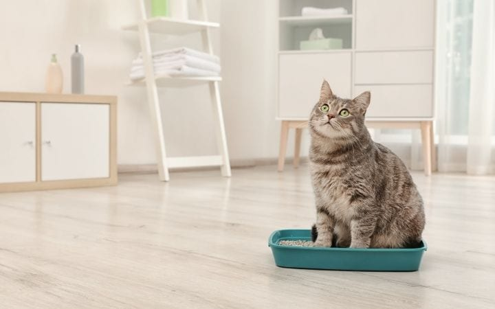 Cat in litter box, All About Miralax for Cats - I Love Veterinary