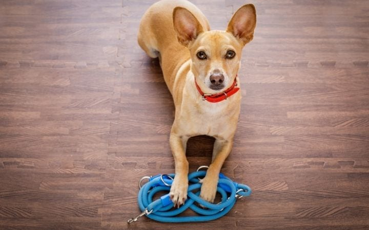Dog with leash, Getting Real About Canine Degenerative Myelopathy - I Love Veterinary