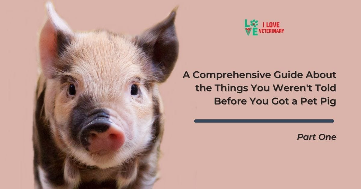 A Comprehensive guide about the things you weren't told before you got a pet pig Part one - I Love Veterinary