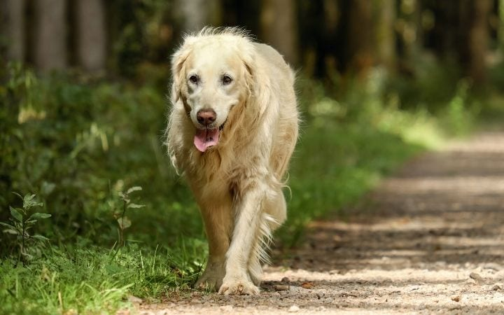 Golden retriever. Getting Real About Canine Degenerative Myelopathy - I Love Veterinary