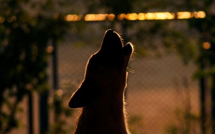 Howling dog, Talk Doggy to me- Why do Dogs Howl - I Love Veterinary